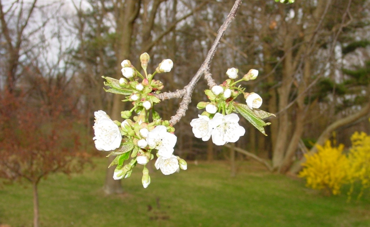 "Cherry Blossom ""Loveliest of Trees"""