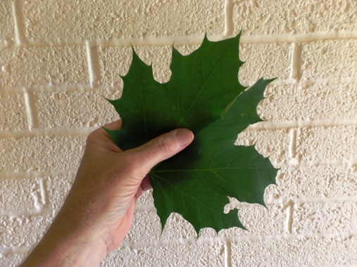 Hand and maple leaf for Holy Hands